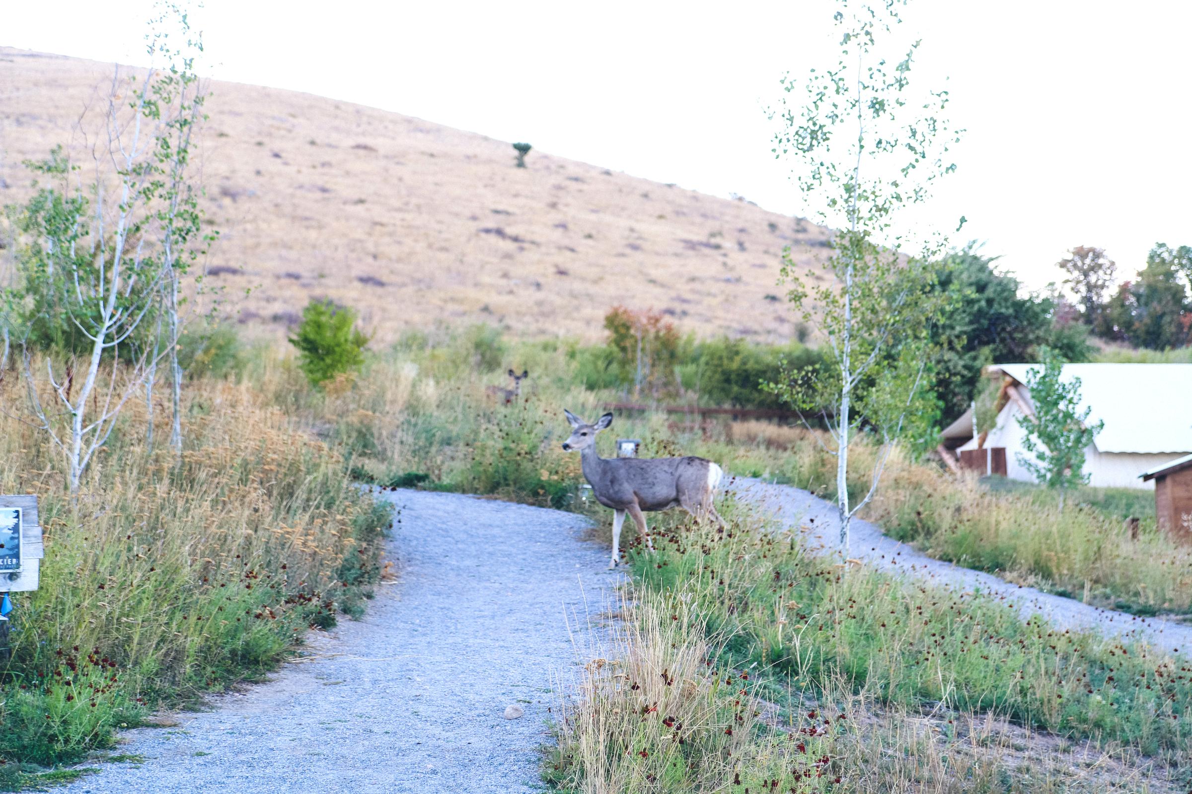 Deer at Conestoga Ranch